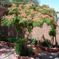 pink mimosa tree | PlantFiles: Picture #45 of Silk Tree, Mimosa Tree, Pink Siris, Persian ...