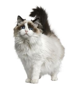 Love rag doll cats