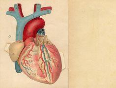 #anatomy #heart #cutout