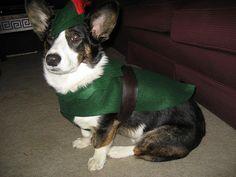 Robin Hood Corgi if I were to dress the future Einstein up for Halloween