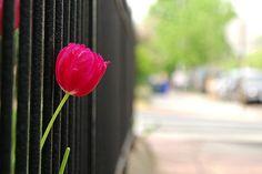 iron tulip