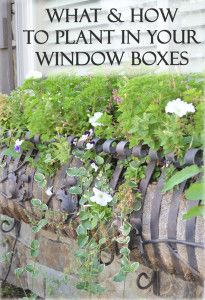 What and how to plant in your window boxes. This has detailed examples of exactly what to plant.
