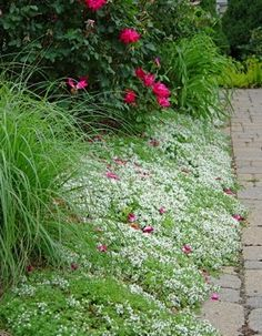 White creeping thyme, grasses and roses