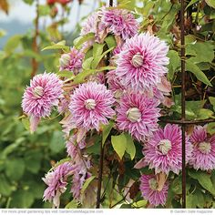 Grow the best clematis ever! | Garden Gate eNotes | Josephine Clematis