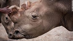 Unique? Suni was much more than that. He was one of seven northern white rhinos left on Earth. Now he's dead.