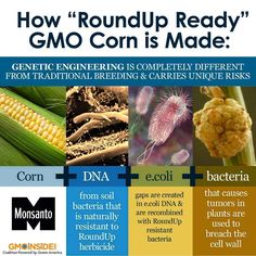 """Have you ever wondered how GMO corn is made? Roundup Ready Corn is genetically engineered corn that has had its DNA modified to withstand the herbicide glyphosate (the active ingredient in Monsanto's herbicide Roundup). It is also known as """"glyphosate tolerant corn."""" One variety of RR Corn, NK603, was linked to tumors in rats in the Seralini study last year. Read the full details in the study here: http://gmoseralini.org/wp-content/uploads/2012/11/GES-final-study-19.9.121.pdf #GMOs #RightToKnow"""