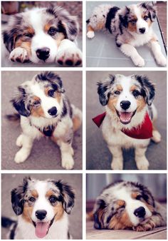 Australian shepherd puppy...Gotta have one:)