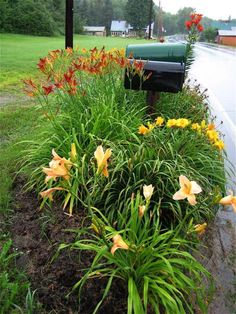Daylilies by mailbox Heather we should do this!