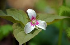 Painted trillium near Crabtree Falls along the Blue Ridge Parkway in North Carolina
