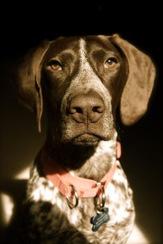 German Shorthair Pointers are the best :)