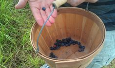 Blueberry picking in May or June