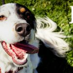 ADOPTED! Jesse! The Setter That Won't Just Set There -  in Troy, NY