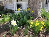 Daffodils and Spring Bulbs  Daffodils, hyacinths, crocus, and other spring bulbs offer some of the earliest color of the season, poking up through the late winter snow to lend assurance that cold weather won't last forever. Spring bulbs are perfect for naturalizing under trees or even in your lawn, where they'll brighten up the dormant landscape well before mowing season.