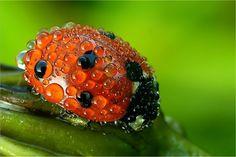Ladybug with morning dew