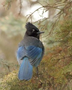 Steller's Jay Fine Art Bird Photography 8x10