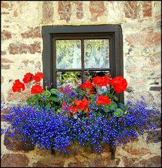 window box-red geraniums and blue lobelia