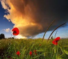 Poppies before a storm - Philipp Klinger