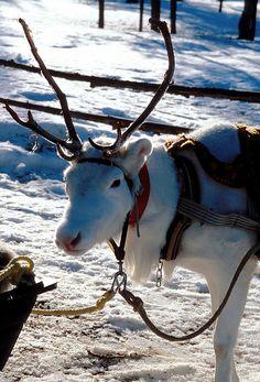 Need reindeer