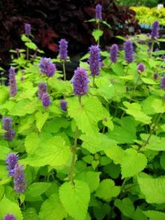 Agastache 'Golden Jubilee' (3), spring 2011, from Bluestone Perennials. Moved to a different spot fall 2011.