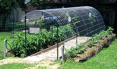Concrete re-mesh wire trellis for tomatoes, snap peas, and cucumbers.