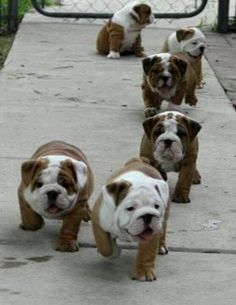 i want! bulldog puppies, pet, english bulldogs, baby dogs, baby animals, animal babies, running, the one, heavens