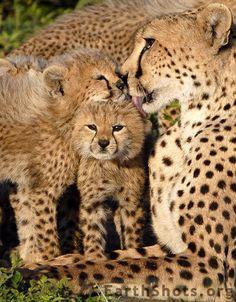 Cheetah & Cubs by Anna de'Capitani