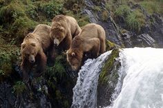 Grizzleys - big bears who eat lots of salmon