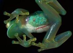 Glass frog?