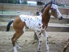 Talking About Neat Looking Appaloosas.... tested for the tobiano gene, not there....100% Appy!