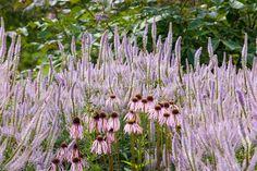 Veronicastrum virginicum 'Lavendelturm' and Echincacea pallida
