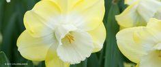 Avalon Daffodil