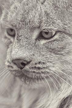Lynx.. stunning