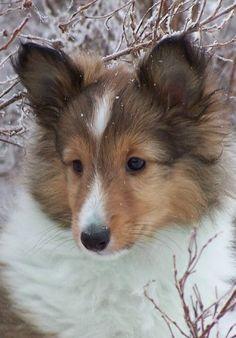sheltie pup