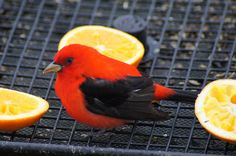 Scarlet Tanager - Photo by Bill Pevlor of PopsDigital.com  #birds #scarlettanager