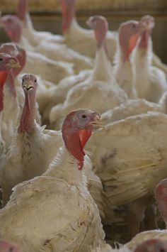 South Dakota is home to 5 million turkeys.    http://agunited.org/key-facts/poultry-farms/