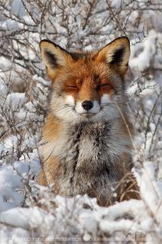 Happy Fox in WinterCoat by *thrumyeye on deviantART