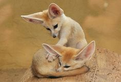 These foxes are soooo cute!!