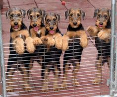 Sweetest pups around, Airedale Terriers. airedal puppi, airedal terrier, dog, airedale terrier