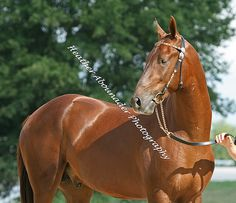 Akhal Teke Stallion -Gerald