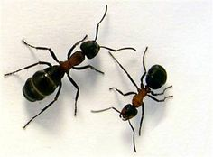"Safe Ant Killer- Cornmeal- They eat it, take it ""home,"" can't digest it. killing them."