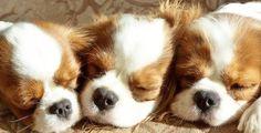 charl spaniel, king charl, dog