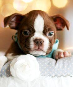 Boston Terrier Chocolate Puppies | Boston Terrier Puppies, Boston
