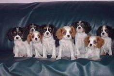 anim, dogs, charl spaniel, pet, favorit thing, daughter, cavalier king charles, cavali king, spaniels