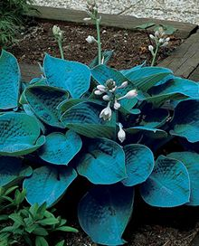 Bressingham Blue Hosta $7.99 each when you buy three or more. for under the big trees in the front yard. would need 40-50