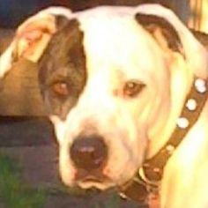 my girl, Angel #pitbull #rescue #dog