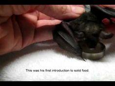 Lil' Drac...a sweet rescue bat