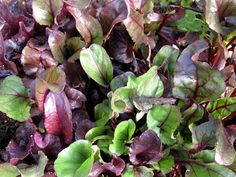 In My Kitchen Garden: How To Grow Beets from Seed & Why You Should