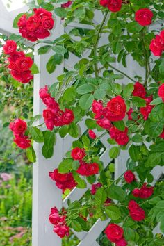 Image detail for -How To Train Climbing Roses, Training Climbing Roses, Training Roses