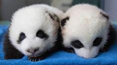 The First 100 Days Of Newborn Panda Cubs