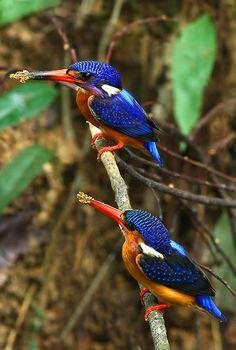 blue-eared kingfishers